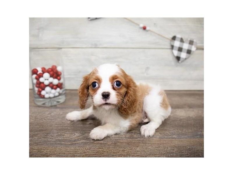 Cavalier King Charles Spaniel-DOG-Female-Blenheim-2607319-Petland Naperville