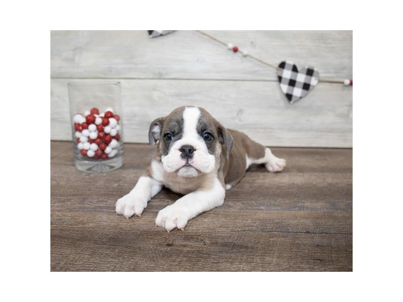 Bulldog-DOG-Male-Brindle-2607327-Petland Aurora
