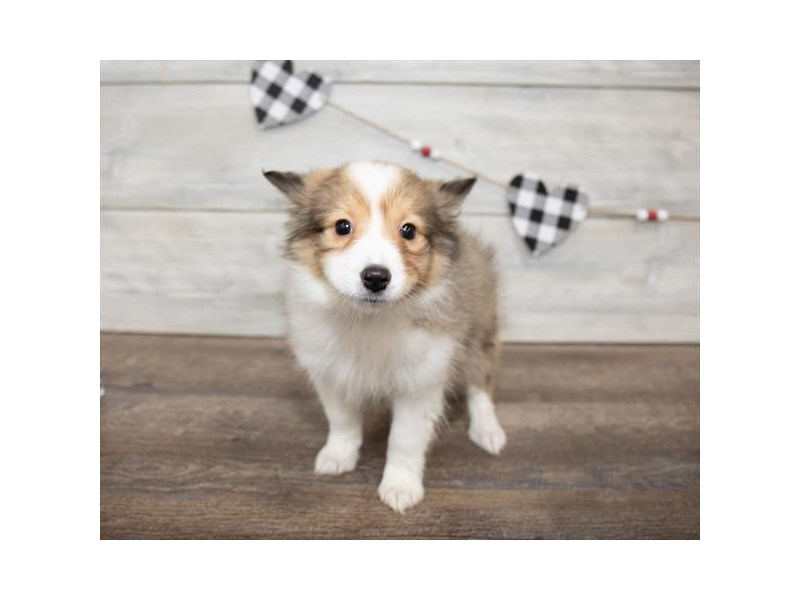 Shetland Sheepdog-Female-Sable / White-2607328-Petland Naperville