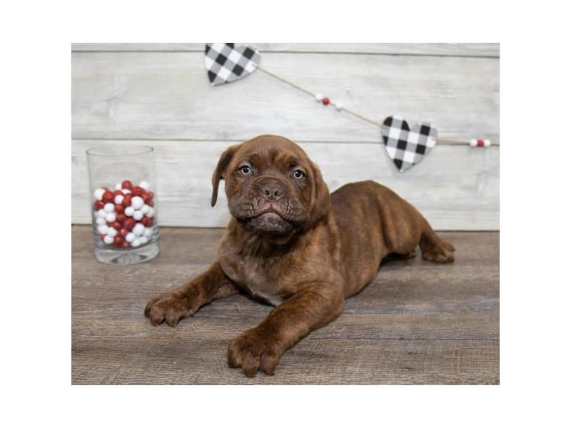 Dogue De Bordeaux-Male-Brindle-2607351-Petland Naperville