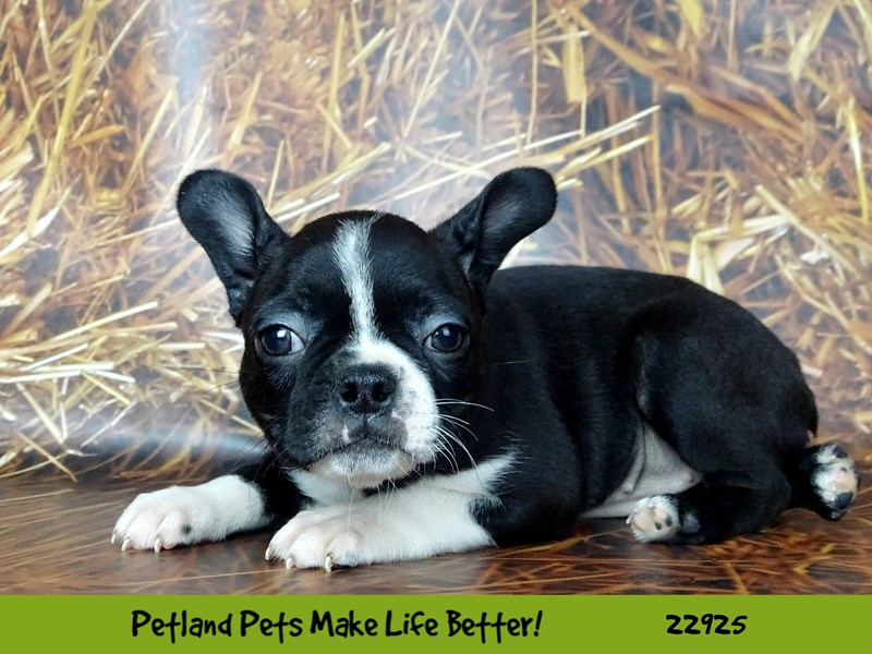 Boston Terrier-DOG-Female-Black and White-2605312-Petland Naperville