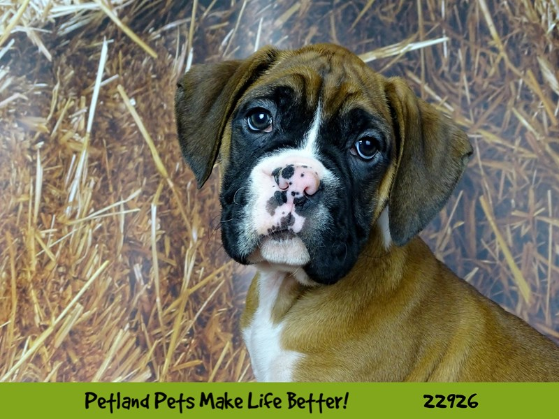 Boxer-DOG-Male-Fawn-2605376-Petland Naperville