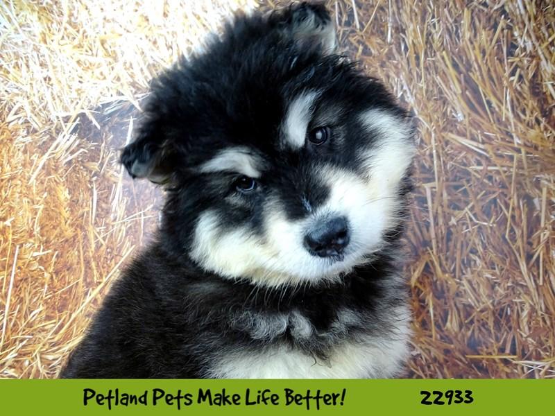 Alaskan Malamute-Female-Black / White-2607324-Petland Aurora