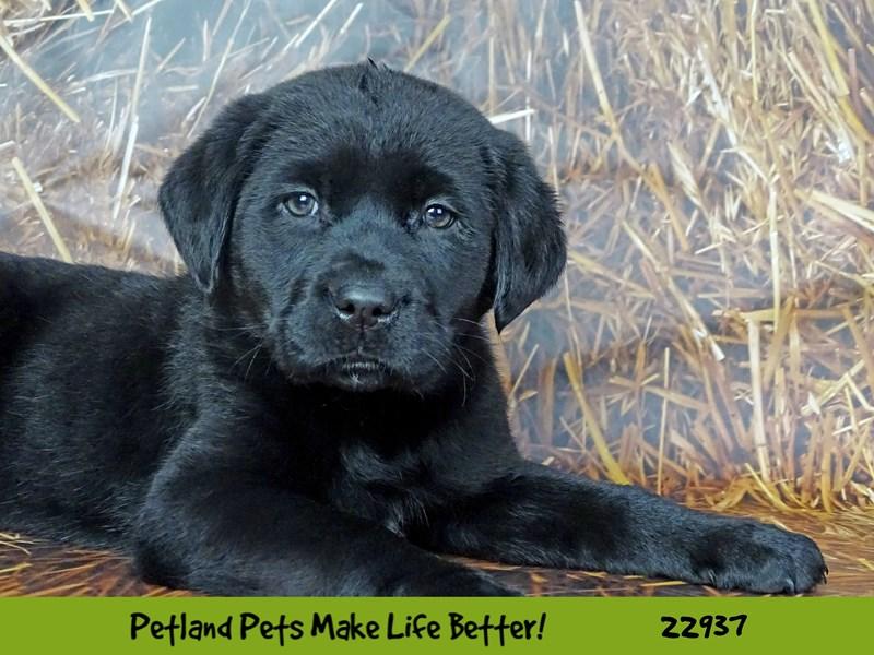 Labrador Retriever-DOG-Male-Black-2612389-Petland Naperville
