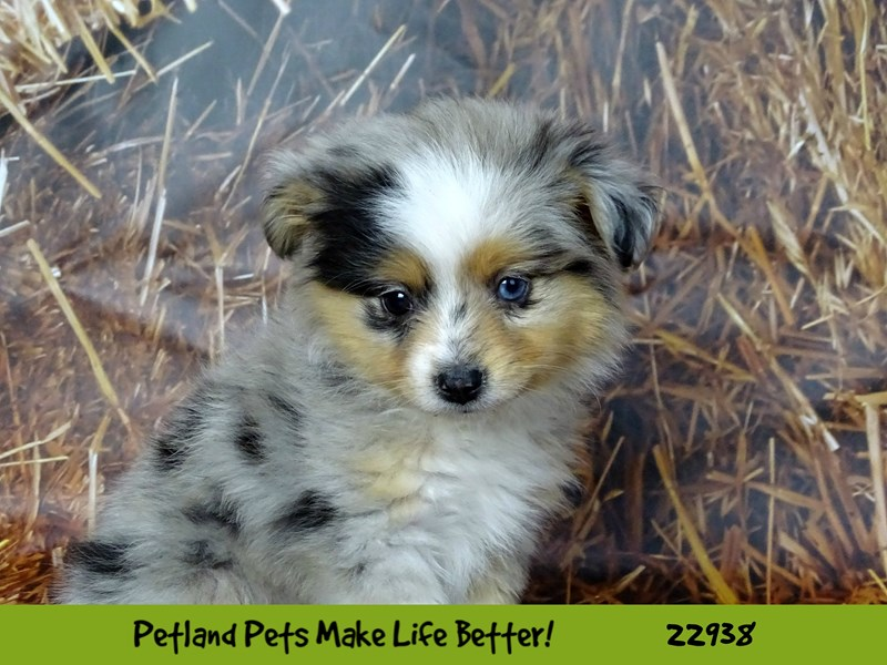 Mini Australian Shepherd-DOG-Female-Blue Merle-2612435-Petland Naperville