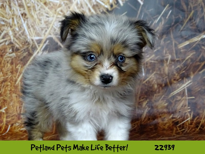 Mini Australian Shepherd-DOG-Female-Blue Merle-2612458-Petland Naperville