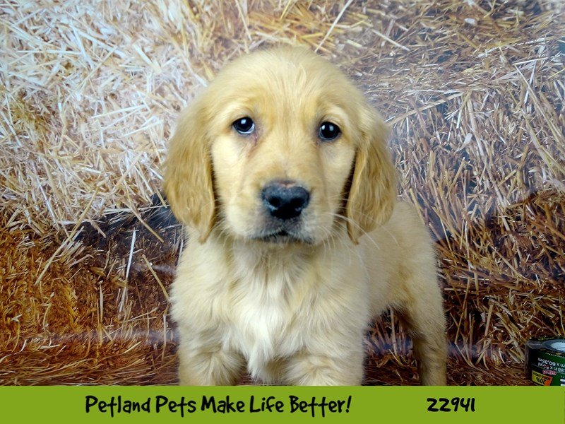 Golden Retriever-Female-Golden-2612662-Petland Naperville