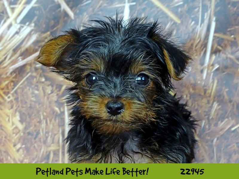 Yorkshire Terrier-Male-Black and Tan-2612854-Petland Naperville