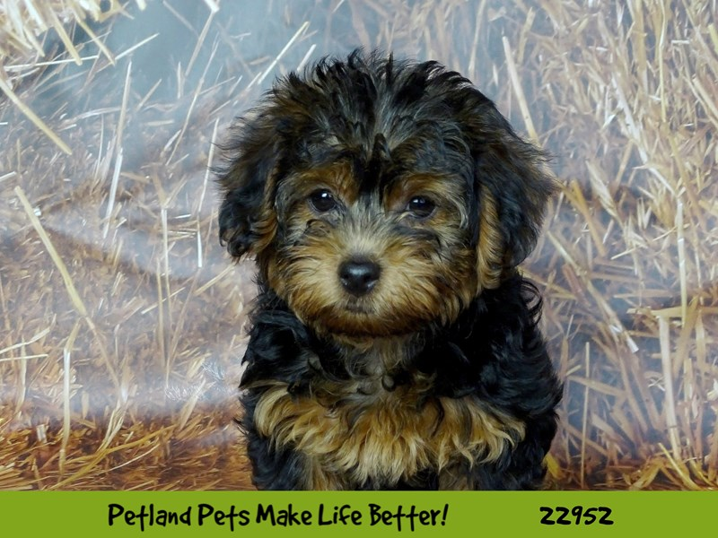 Yorkiepoo-DOG-Male-Black and Tan-2613103-Petland Naperville