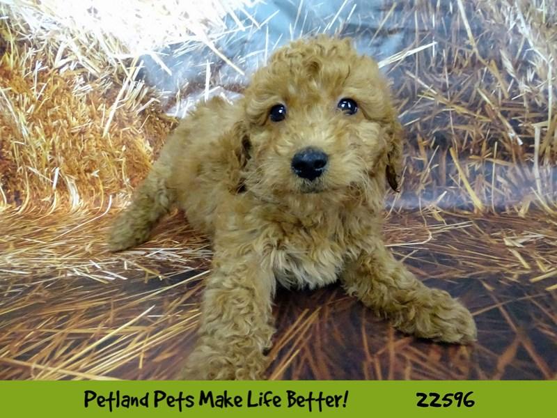 2nd Generation Mini Goldendoodle-DOG-Female-Red-2619507-Petland Aurora