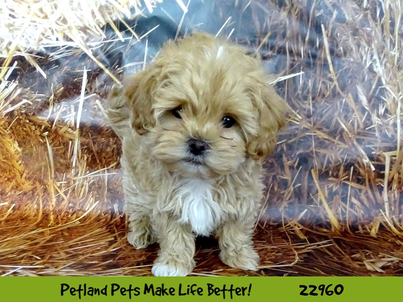 Shihpoo-DOG-Female-Apricot-2619758-Petland Naperville