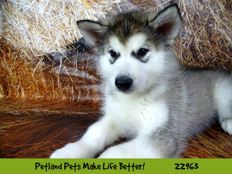 Alaskan Malamute-DOG-Male-Black and White-2619819-Petland Naperville