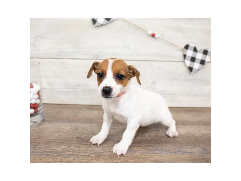 Jack Russell Terrier-DOG-Female-White-2621757-Petland Naperville