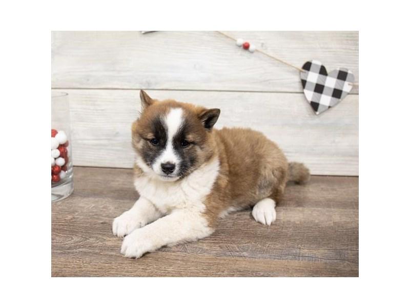 Shiba Inu-DOG-Female-Red Sesame-2621759-Petland Aurora