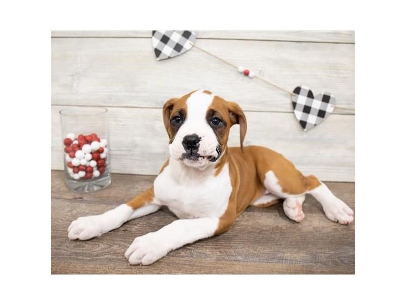 Boxer-DOG-Female-Fawn-2621773-Petland Naperville