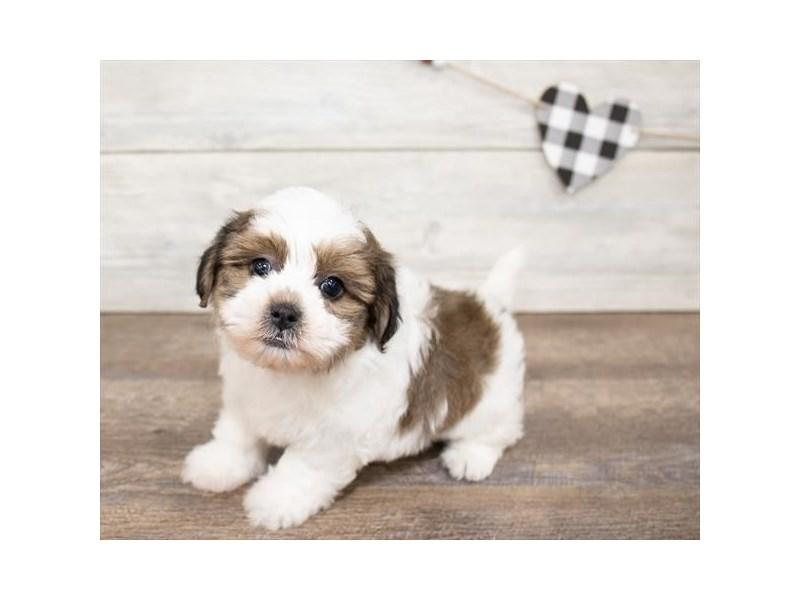 Teddy Bear-DOG-Male-Gold / White-2621777-Petland Naperville
