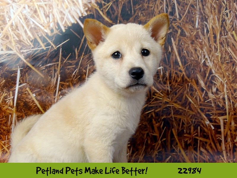 Shiba Inu-DOG-Female-Cream-2626572-Petland Naperville