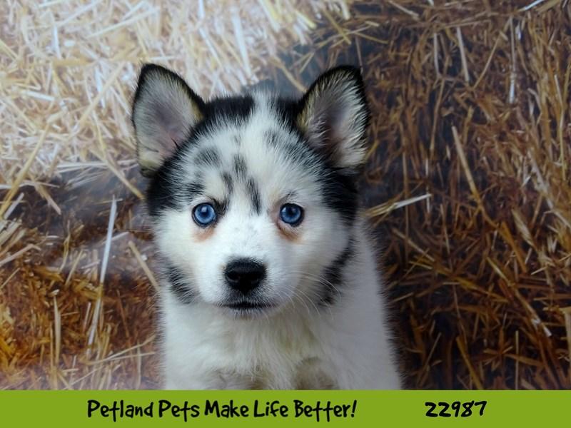 Pomsky-DOG-Male-Merle-2626633-Petland Naperville
