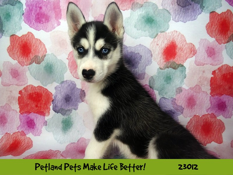 Siberian Husky-Female-Black and White-2634267-Petland Naperville