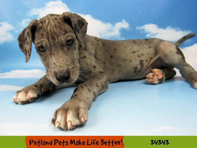 Great Dane-Male-Blue Merle-2565325-Petland Naperville