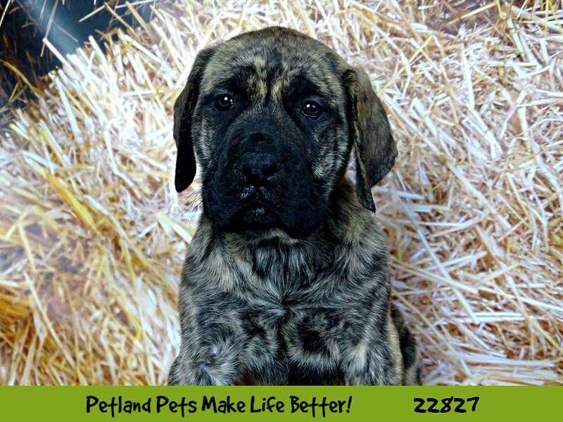 English Mastiff-DOG-Female-Brindle-2575574-Petland Naperville