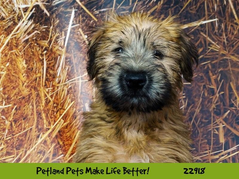 Soft Coated Wheaten Terrier-Male-Wheaten-2598741-Petland Naperville