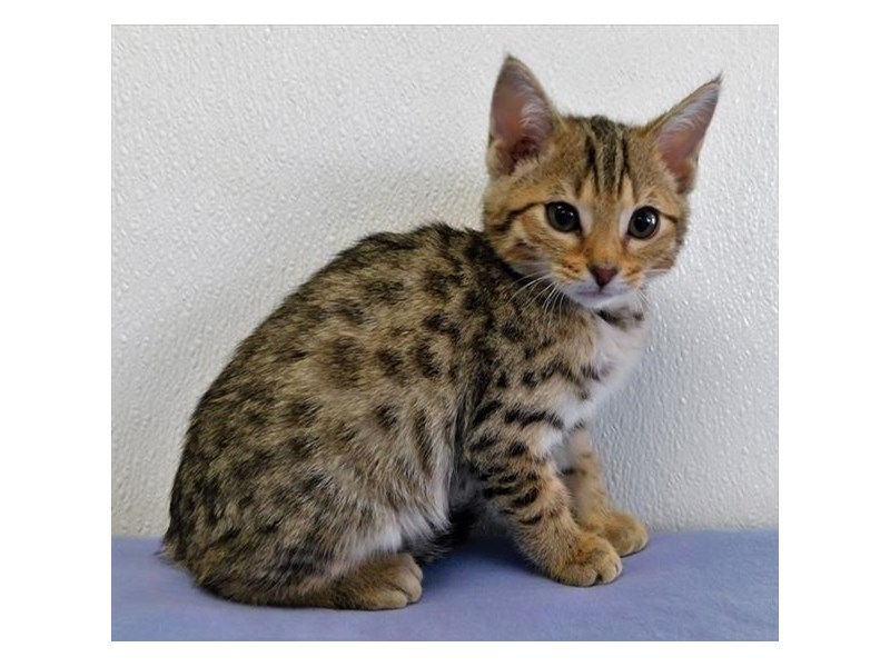 Bengal-CAT-Male-Brown / Black-2604805-Petland Naperville