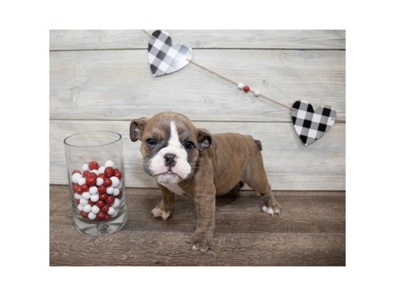 Bulldog-DOG-Female-Brindle-2607326-Petland Naperville