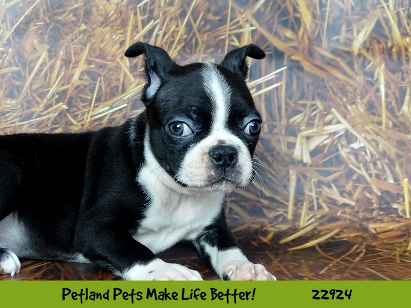 Boston Terrier-Male-Black and White-2605311-Petland Naperville