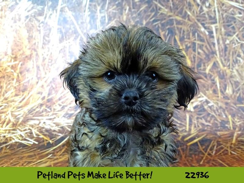 Shorkie-DOG-Male-Brindle-2607331-Petland Naperville