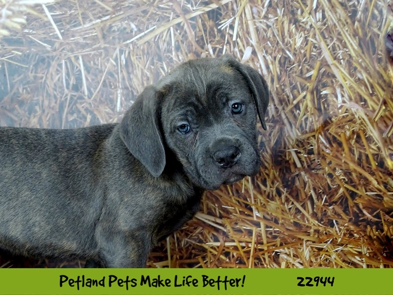 Cane Corso-DOG-Female-Blue Brindle-2612715-Petland Naperville
