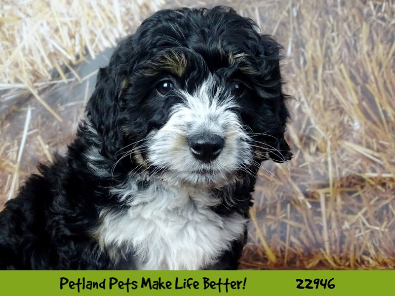 Mini Bernedoodle-DOG-Female-Black Tri-2612868-Petland Naperville