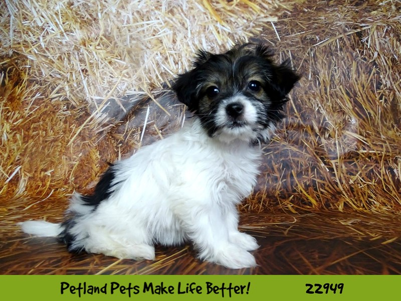Chihuahua/Havanese-DOG-Female-White / Gold-2613000-Petland Naperville
