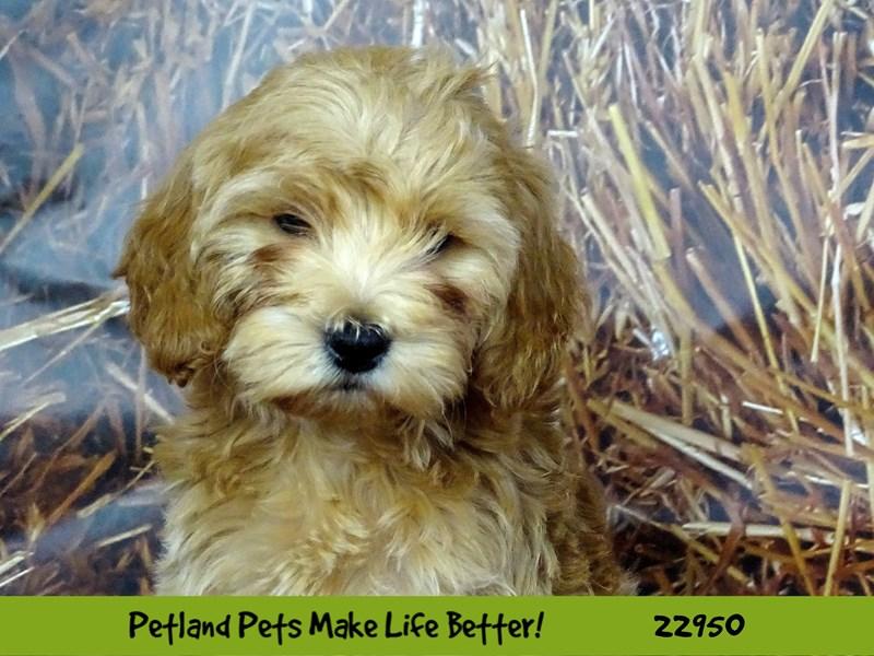 F1B Mini Goldendoodle-DOG-Female-Dark Apricot-2613073-Petland Naperville