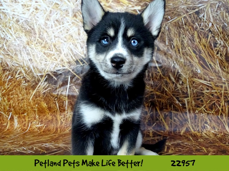 Pomsky-Female-Black and White-2619508-Petland Naperville