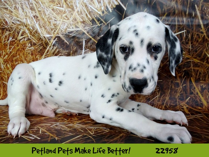 Dalmatian-DOG-Male-White and Black-2619687-Petland Naperville