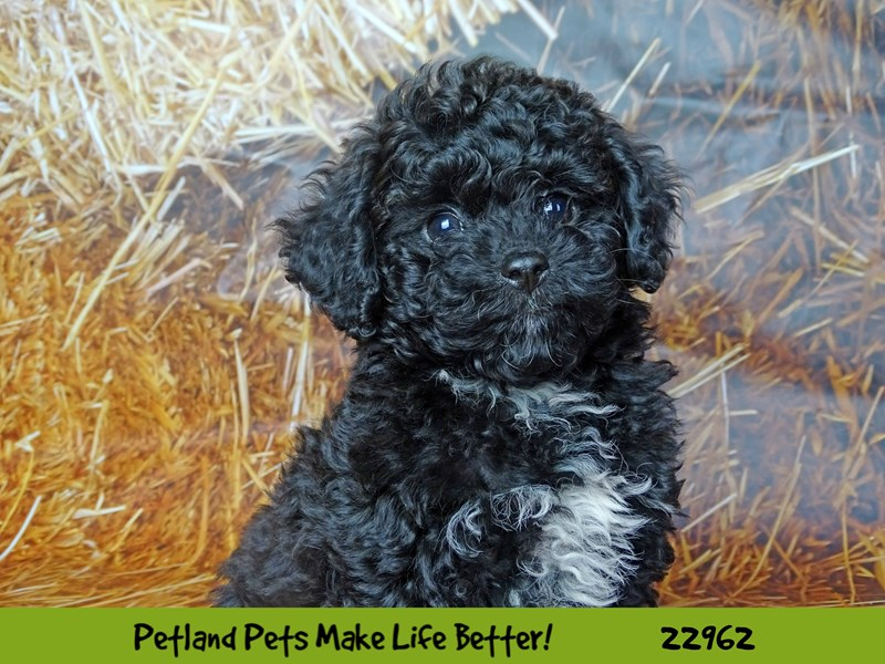 Poodle-Male-Black-2619811-Petland Naperville