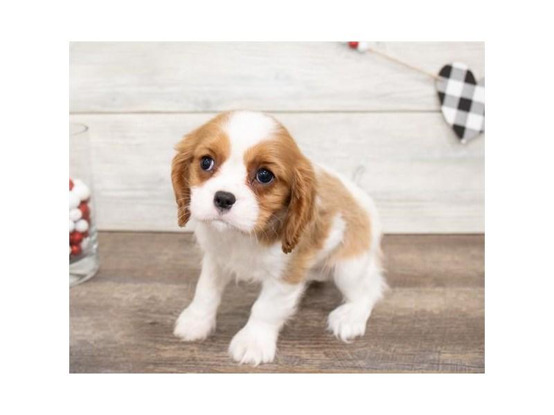 Cavalier King Charles Spaniel-DOG-Female-Blenheim-2621625-Petland Naperville