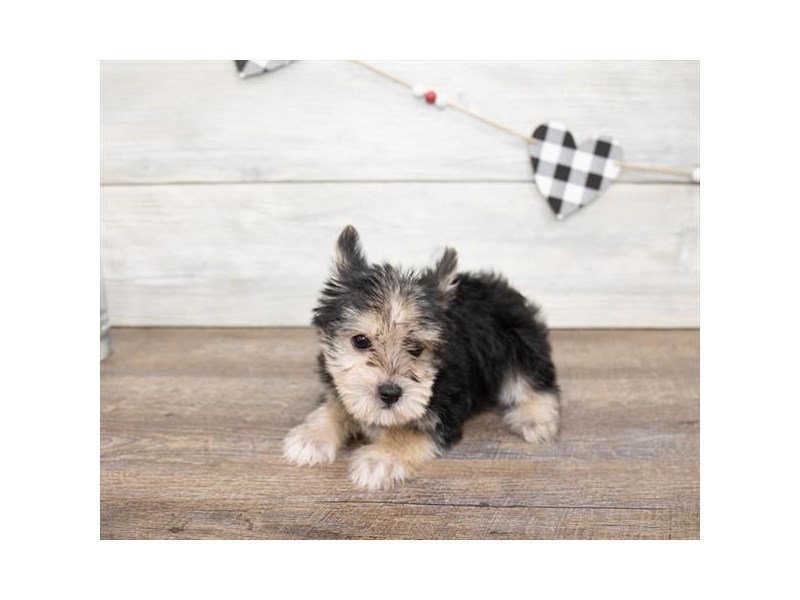 Morkie-Male-Black / Tan-2621754-Petland Naperville