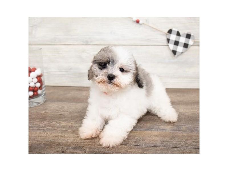 Bichapoo-DOG-Female-Merle-2621761-Petland Naperville