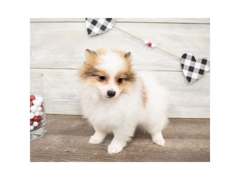 Pomeranian-DOG-Female-Red Sable-2621764-Petland Aurora