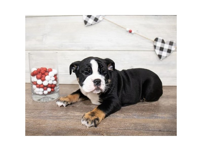 Bulldog-Male-Black White / Tan-2621765-Petland Naperville