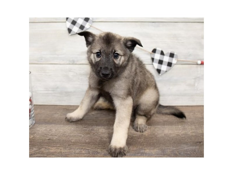 Norwegian Elkhound-DOG-Male-Sable-2621766-Petland Naperville