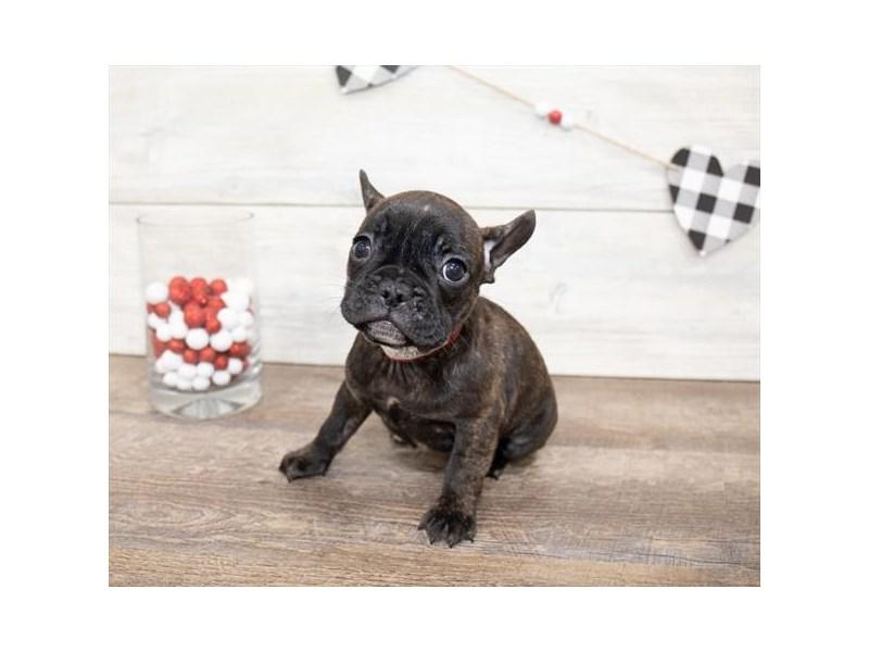 French Bulldog-DOG-Female-Brindle-2621774-Petland Naperville