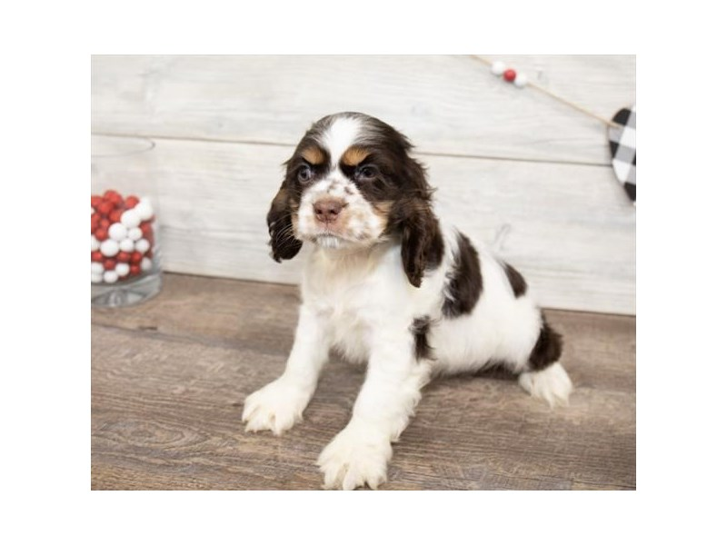 Cocker Spaniel-DOG-Female-Brown / White-2621775-Petland Naperville