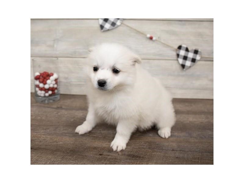 American Eskimo Dog-DOG-Female-White-2622046-Petland Naperville