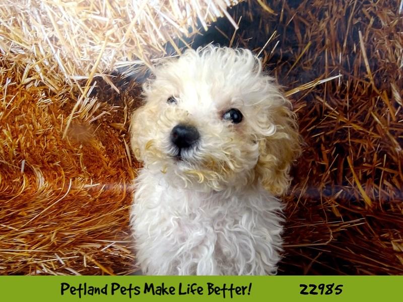 Miniature Poodle-DOG-Female-Cream-2626591-Petland Naperville