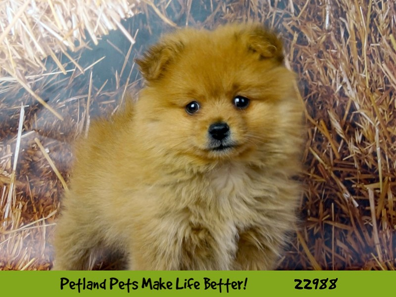 Pomeranian-DOG-Male-Orange-2626659-Petland Naperville