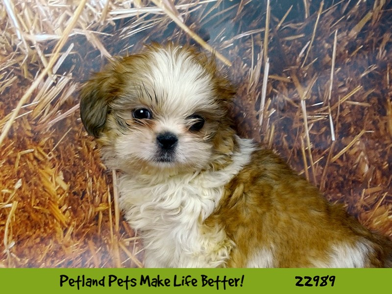 Shih Tzu-DOG-Male-brown and White-2626709-Petland Naperville