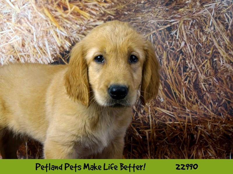 Golden Retriever-DOG-Male-English Cream-2626828-Petland Naperville